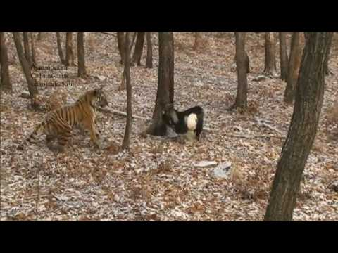 Russian goat who made unlikely friends with tiger dies