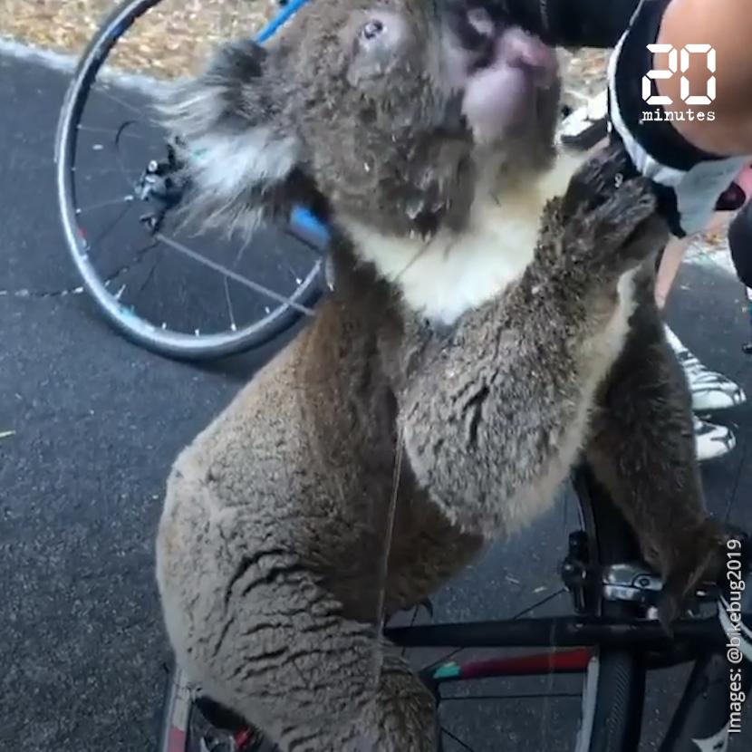 Incendie en Australie: une cycliste s'arrête pour donner à boire à un koala