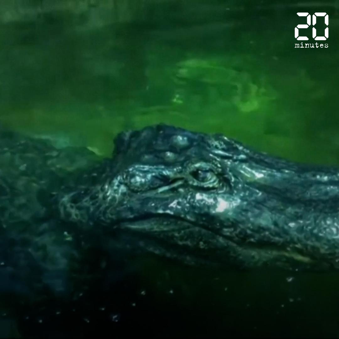 Saturne, alligator survivant de la Seconde Guerre mondiale, est mort à 84 ans