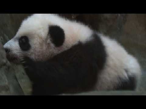 Giant panda cub Bei Bei makes media debut