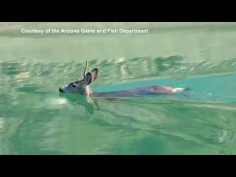 Arizona officers and local cowboys come together to rescue deer from canal