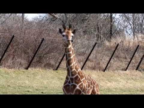Adorable giraffe calf makes public debut at Indianapolis Zoo