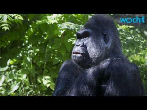 Cincinnati zoo gorilla exhibit reopens with higher, reinforced barrier