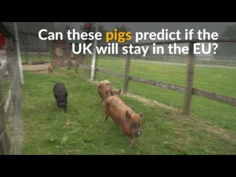 Can these four pigs predict whether the UK will stay in the EU?