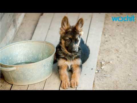 The Basics: Training German Shepherd Puppies