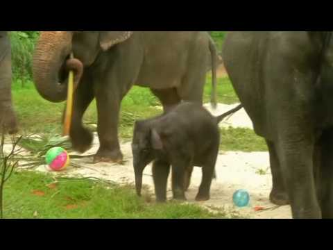 A baby elephant makes public debut in Singapore