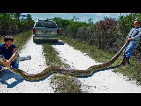 Enormous Wild Python Captured in South Florida