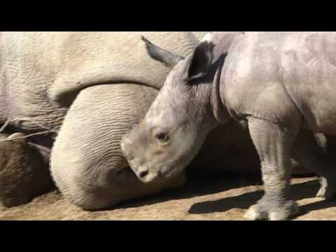Rare white rhino born in French zoo