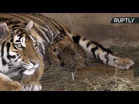 First Glimpse of Adorable Newborn Tiger Triplets at Crimean Safari Park