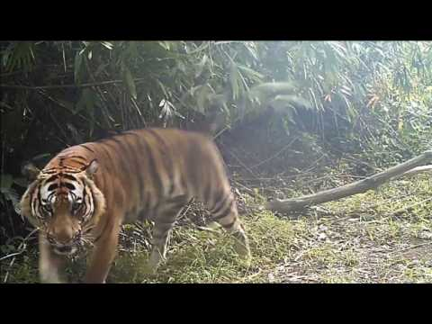 Wild Thai tiger cub footage sparks hope for endangered species