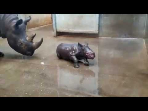 Baby rhino shows off belly while taking bath