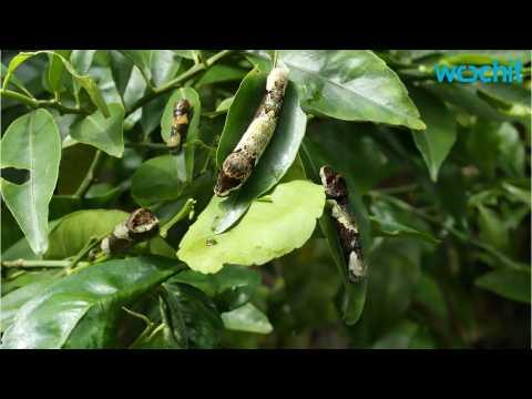 Disease Attacks Florida Citrus Industry