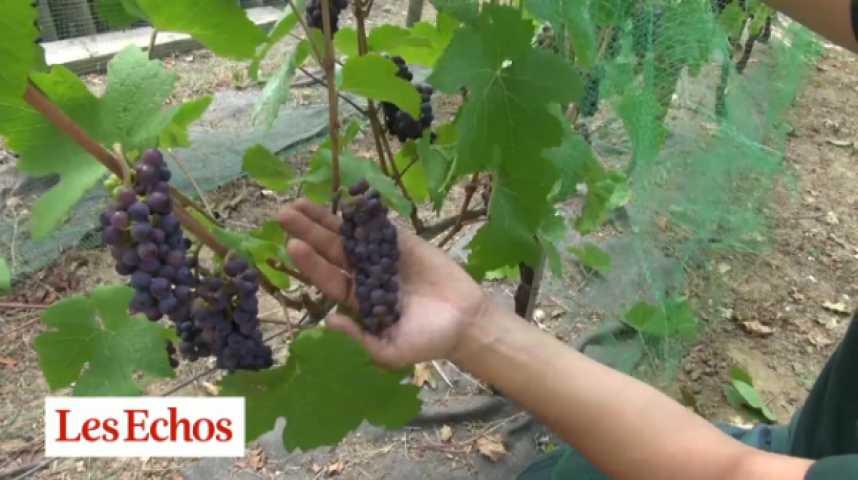Illustration pour la vidéo Paris : le vignoble caché de la butte Bergeyre prépare les vendanges