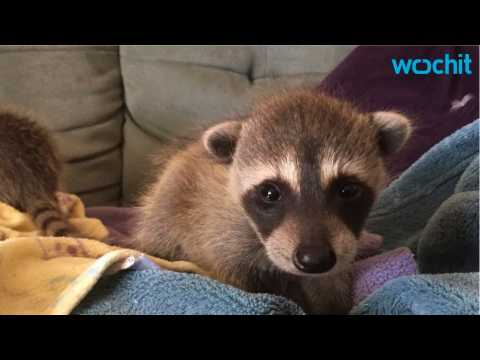 Baby Raccoons Survive 4-Day Trek Across The Country