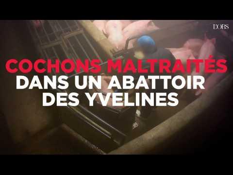 Des actes de maltraitance sur des cochons dans un abattoir