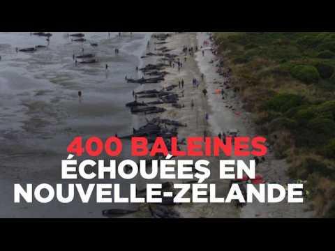 400 baleines s'échouent sur la plage en Nouvelle-Zélande