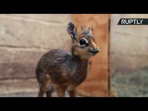 Tiny Orphaned Baby Antelope Hand-Reared by Chester Zoo Staff