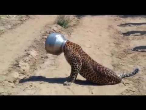 Thirsty leopard gets head stuck in pot in India