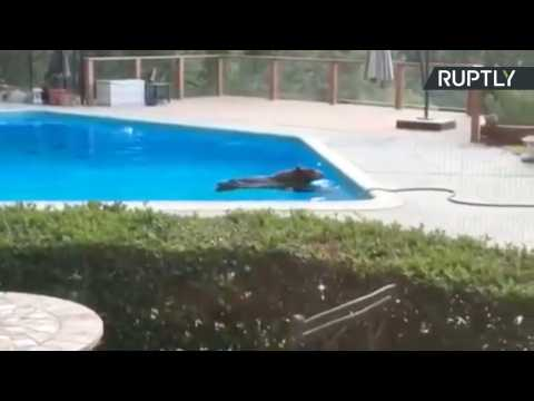 Bare Necessities! Wild Bear Cools Off in Backyard Pool for Summer Swim