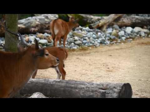 Rare banteng cow born at Chester Zoo