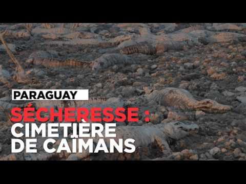 Paraguay : un cimetière de caïmans dans le lit asséché d'une rivière