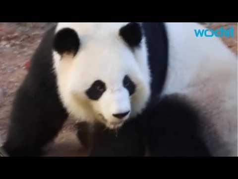 Zoo Atlanta Celebrates Birth Of Twin Pandas