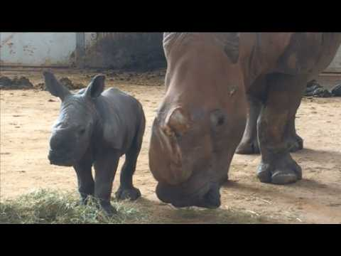 Rare white rhino calf born at English zoo