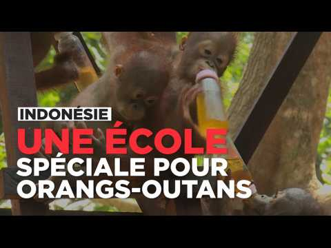 En Indonésie, les orangs-outans font leur rentrée dans une école spéciale