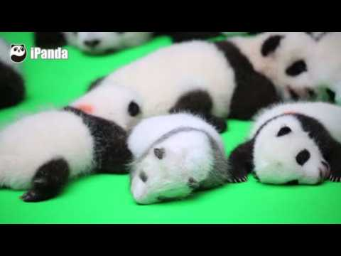 Panda cubs make public debut in China ahead of National Day