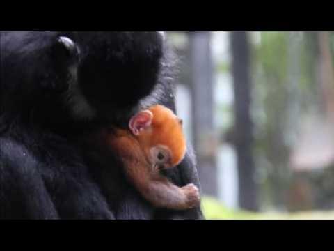Rare Francois' leaf monkey born in Australian zoo