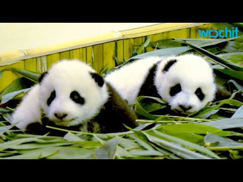 Giant Male Panda Twins Make Debut in China