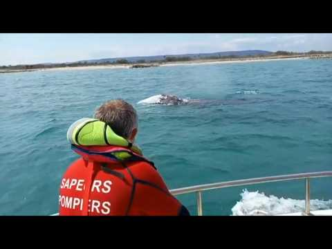 Pacific grey whale seen for the first time in the French Mediterranean