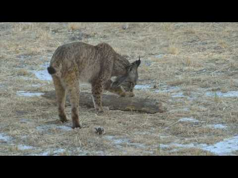 Spain's iconic Iberian Lynx claws its way back from extinction