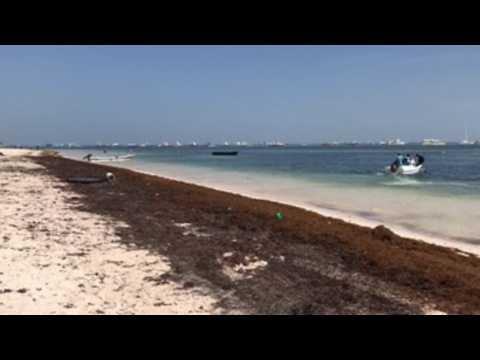 Tide of sargassum floods crystalline Dominican beaches