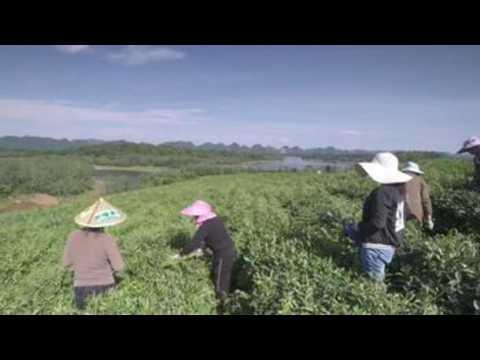 Tea leaves plantation in Ludishao village