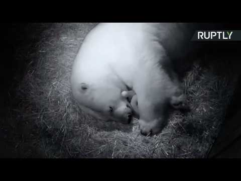 Teeny Tiny Polar Bear Twins Born at Gold Coast Sea World