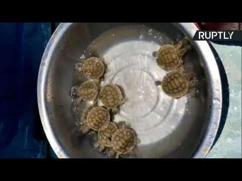 Discovery of Baby Royal Turtles Gives Hope to Species on Brink of Extinction
