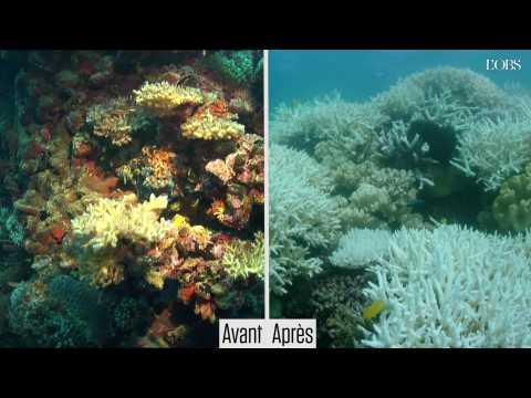 Grande Barrière : avant/après le blanchissement irréversible de ses coraux