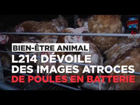 L214 dévoile des images atroces d'un élevage de poules en batterie