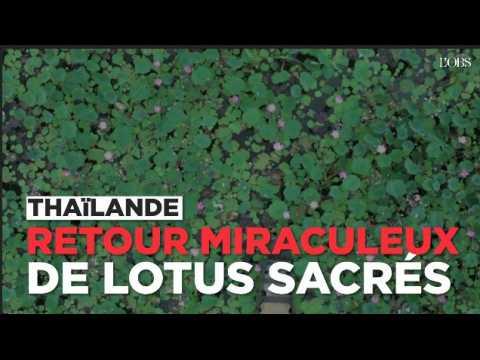 Des lotus sacrés réapparaissent par miracle en Thaïlande