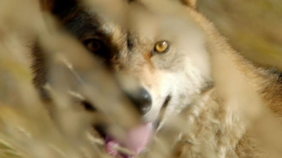Le Dernier Loup - teaser - VF - (2015)