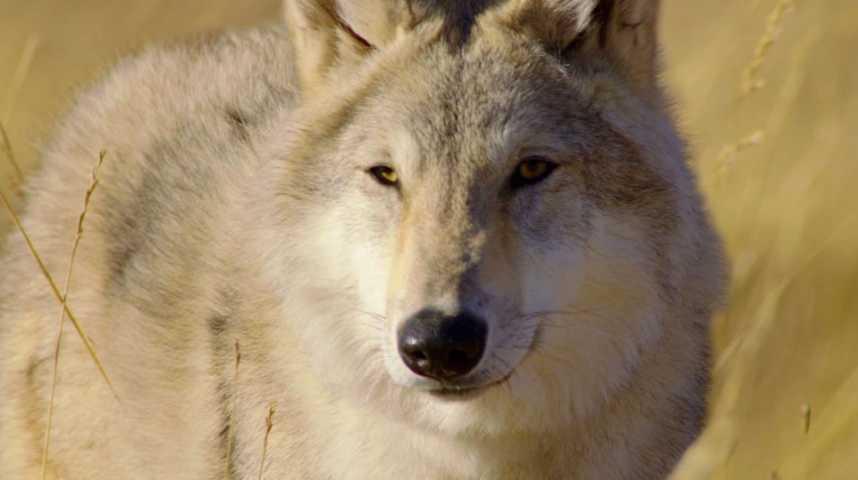 Le Dernier Loup - Bande annonce 2 - VF - (2015)