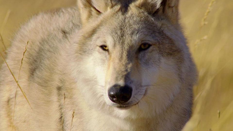 Le Dernier Loup - bande annonce - VOST - (2015)