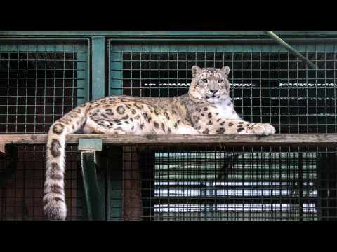 Snow Leopard Taken Off Endangered Species List