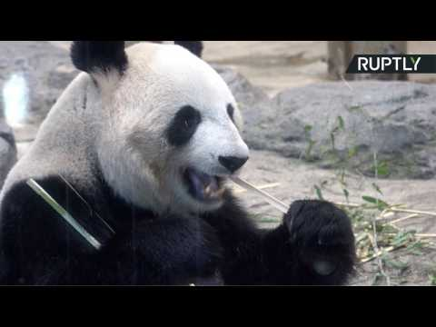 Adorable Baby Panda and Proud Mother Bamboo-zle at Media Debut