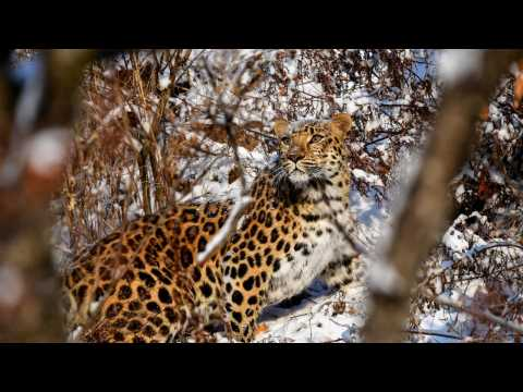 World's Rarest Leopard Caught on Tape in the Wild
