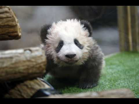 Brigitte Macron a baptisé le bébé panda du zoo de Beauval