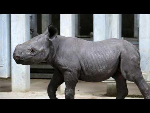 Rare Black Rhino Born at Australian Zoo