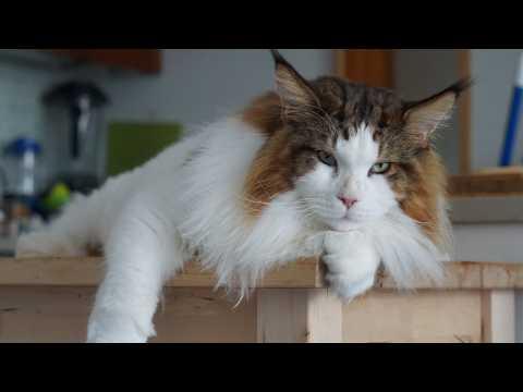 Meet Samson, the world's largest house cat