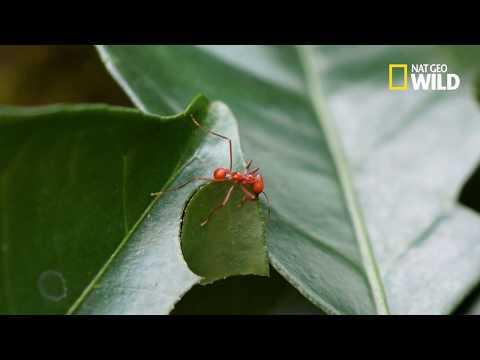 La puissance des fourmis coupe-feuilles
